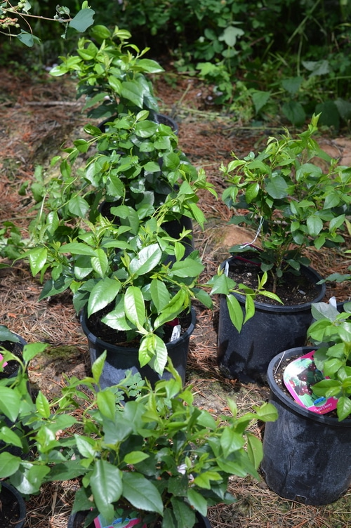 hardy cherries waiting to be transplanted