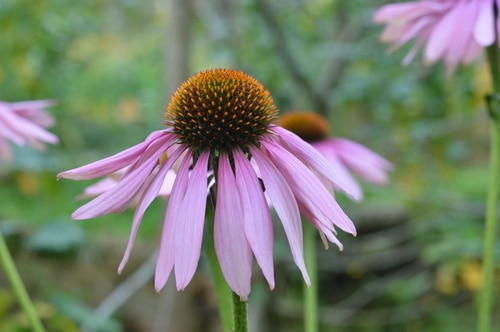 echinacea-in-september