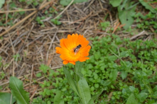 bee-in-calendula