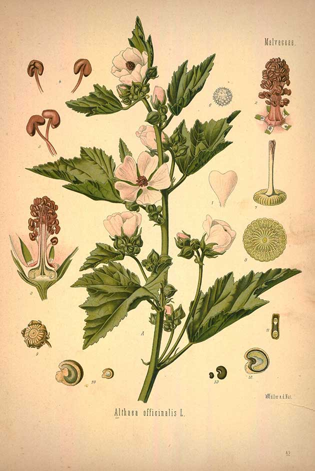 Use observation and drawing to help you learn about medicinal herbs like marshmallow.