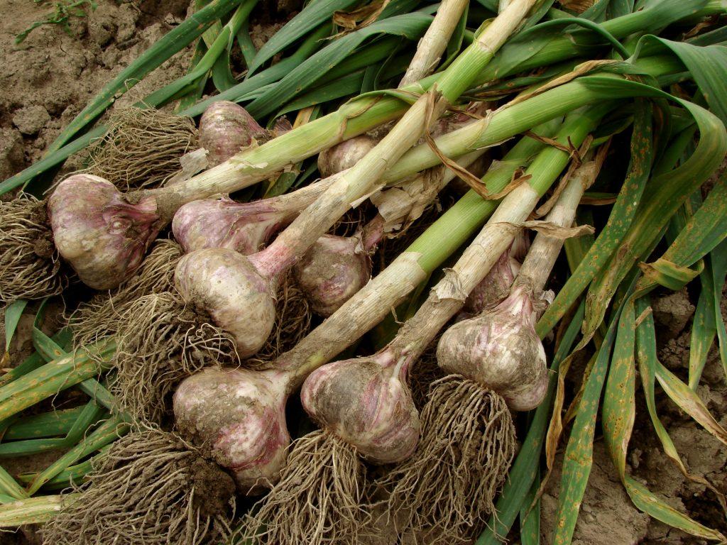 garlic fresh from the garden