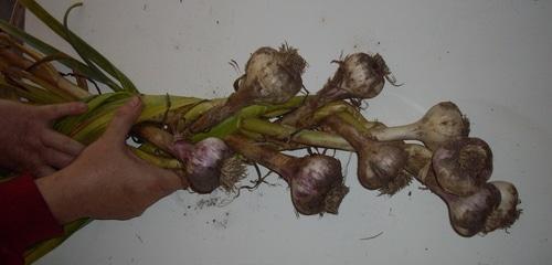 Preserving garlic by braiding