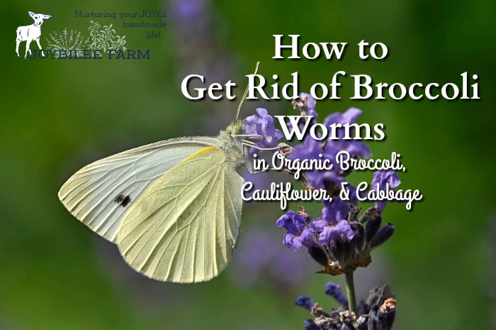Broccoli worms are a reality if you grow organic broccoli, cauliflower, or cabbage. Here's how to clean the produce so you don't serve broccoli worms for dinner.