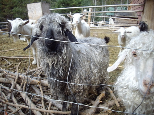12 steps to a successful shearing day and gorgeous fleece