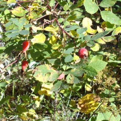Rosehips for free vitamin C