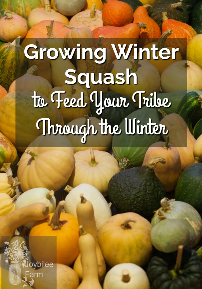 "Assorted white, yellow, orange and green squash, with overlay text ""growing winter squash to feed your tribe throughout the winter"""