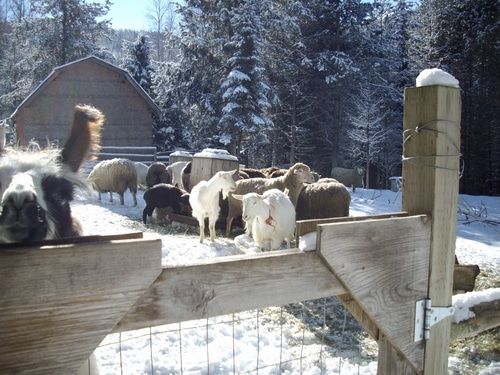 The goat pen in winter avoiding winter injuries on the farm