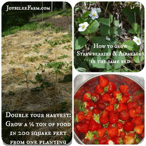 How To Grow Strawberries And Asparagus In The Same Bed Joybilee Farm