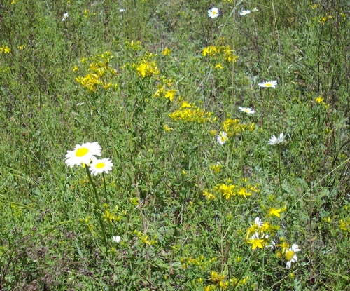 St Johns Wort Flowers and ox-eye daisy flowers in the wild
