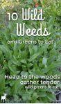 green sorrel plants growing wild
