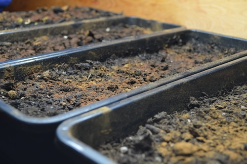Narrow seedling starting trays filled with potting soil and topped with cinnamon to prevent damping off disease as the seeds sprout