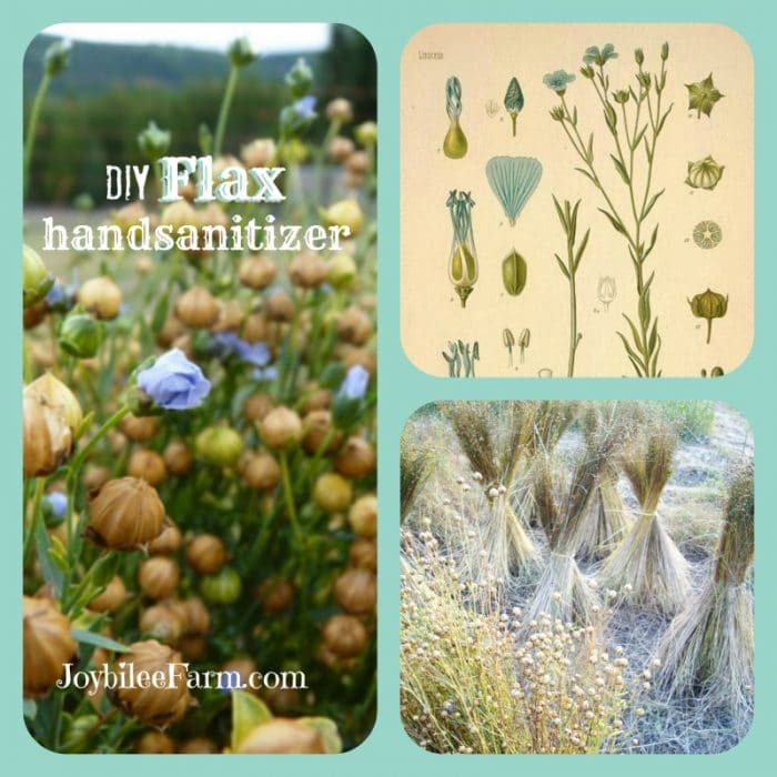 collage of three images, flax seed heads and flowers, old diagram of flax, and flax in a field