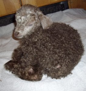 No time to call the vet:  Dealing with hypothermia in baby goats and lambs on your homestead