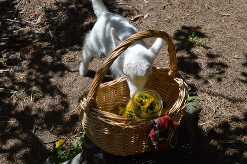 a baby goat attemptign to raid the basket of dandelion flowers