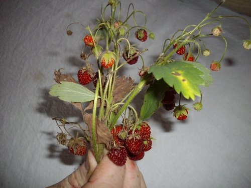 sprigs of Wild Strawberries held by hand