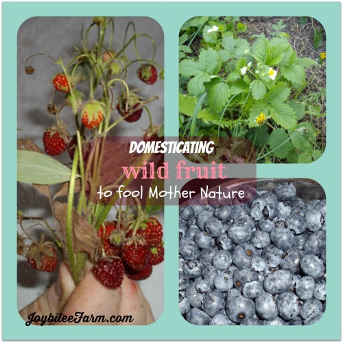 a collage of examples of wild fruit including two wild strawberrie sets and blueberries - Domesticating Wild Fruit - Joybilee Farm