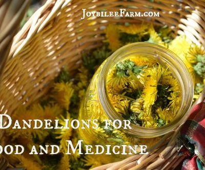 Dandelions for Food and Medicine that You Can Count On