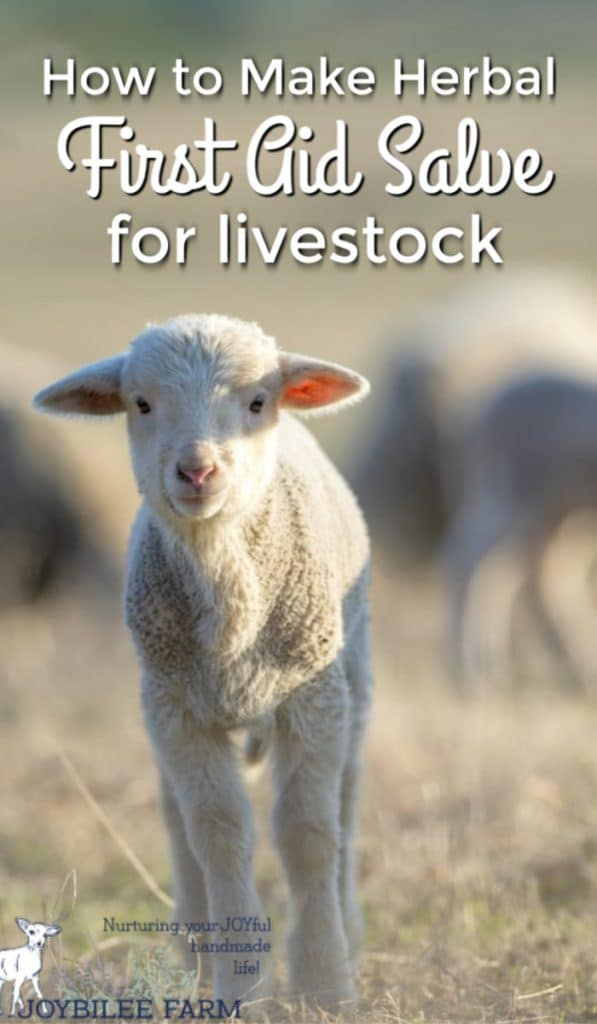 lamb on pasture with text overlay - how to make herbal first aid salve for livestock