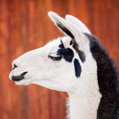 How to remove ticks from llamas & alpacas