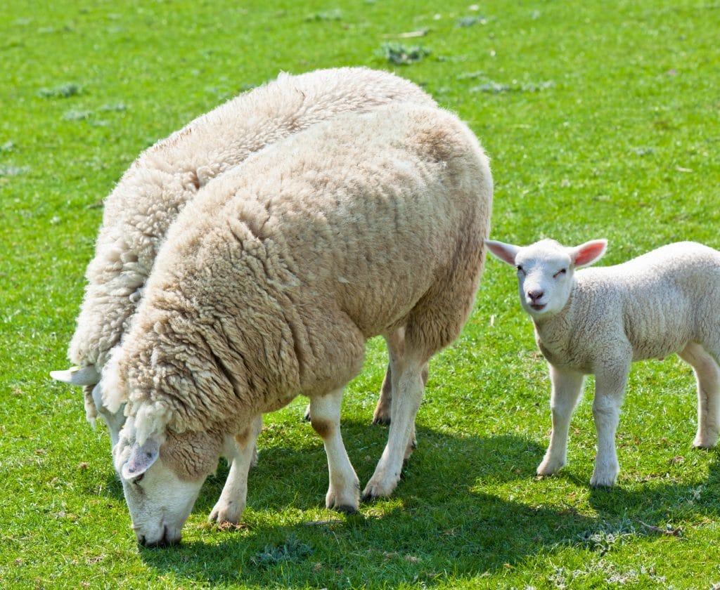 Sheep grazing on green grass