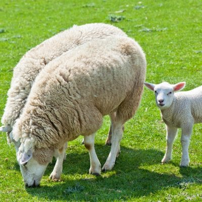 Herbal medicine:  Dealing with parasites in Goats and sheep, part 1