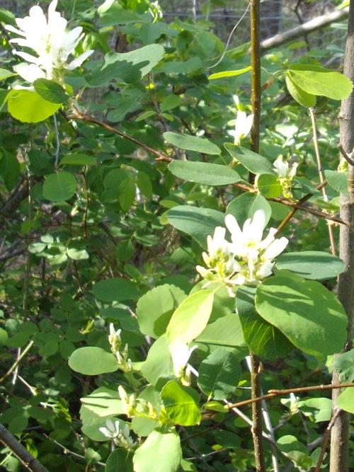 flowering wild saskatoons