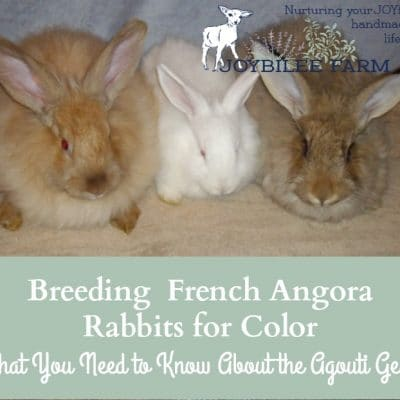 Breeding  French Angora Rabbits for Color, What You Need to Know About the Agouti Gene