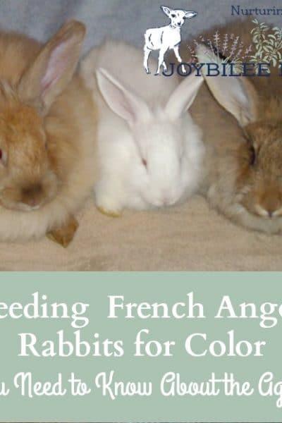 The agouti gene is the dominant gene in angora rabbits.