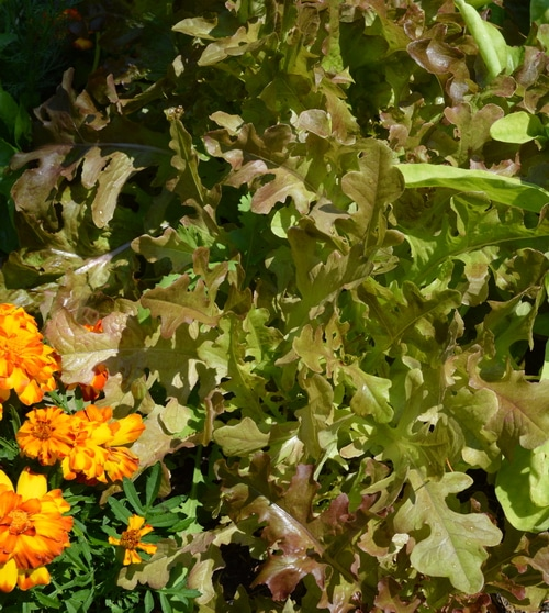 healthy lettuce and marigolds growing in a hugelculture bed