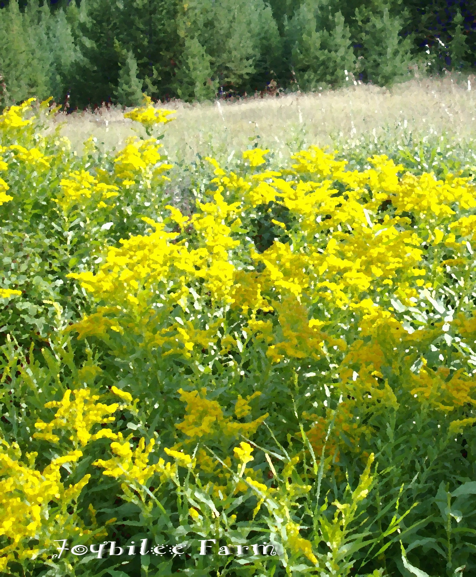 Golden rod: properties, use and contraindications 88