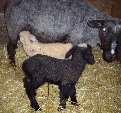 Selenium supplementation: a matter of life and death in your flock
