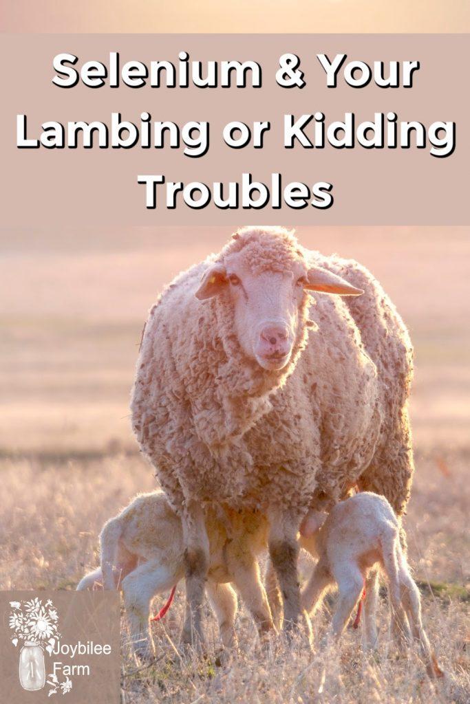 Lambs nursing