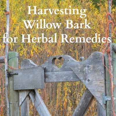 Harvesting Willow Bark for Herbal Remedies