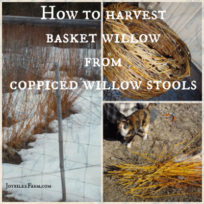 How to harvest basket willow from coppiced willow stools on your homestead