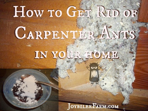 get rid of ants in carpet floor matttroy. Black Bedroom Furniture Sets. Home Design Ideas