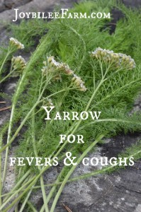 Yarrow for fevers and coughs