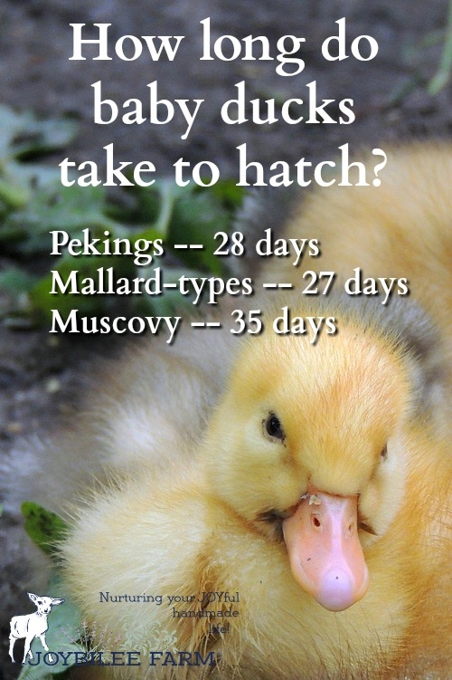 How long do duck eggs take to hatch?