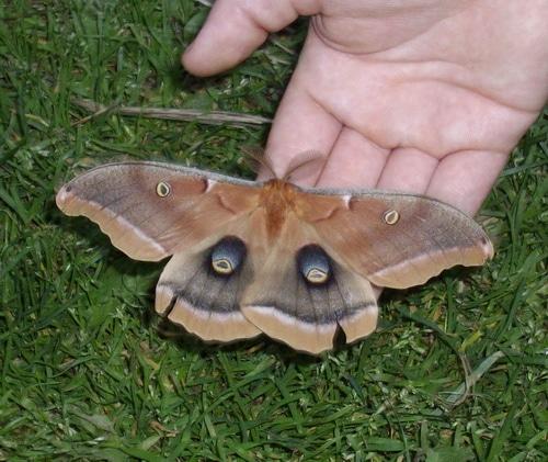Polyphemous Silk Moth