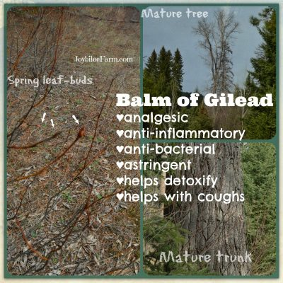 Harvesting Balm of Gilead for Pain and Inflammation