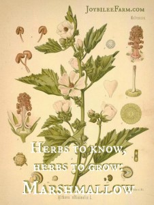 Herbs to know, herbs to grow: Marshmallow