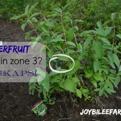 Superfruit for zone 3? Haskaps!