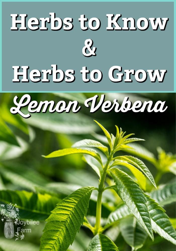 Close up of a Lemon Verbena plant