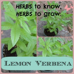 Photo collage of fresh lemon verbena