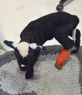 3 Natural Ways to Help a Lamb With a Broken Leg Mend