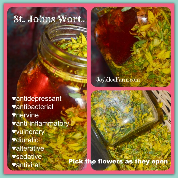 Photo collage of St Johns Wort Tincture and yellow St Johns Wort flowers