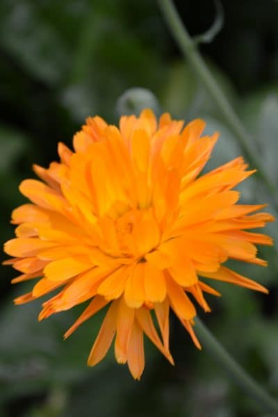 a large orange calendula flower ready for preserving
