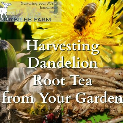 Harvesting Dandelion Root Tea from Your Garden Before It Becomes Illegal