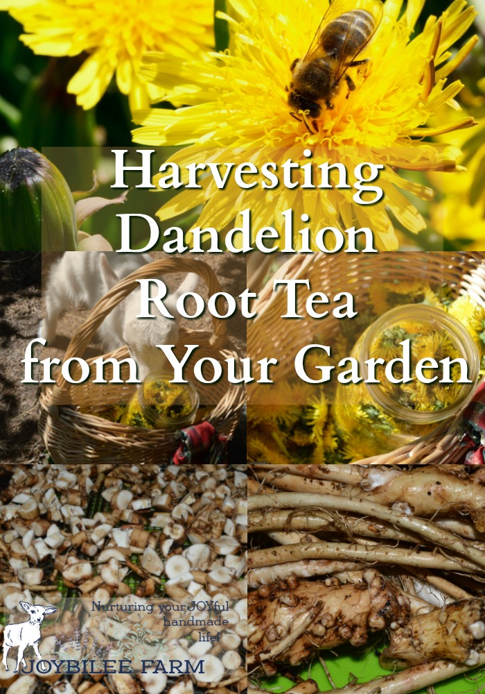 Dandelion contains a powerful antioxidant, detoxifier, and liver and kidney tonic? Dandelion root tea has been shown to reduce cancer tumors and resolve leukemia in scientific studies in Canada. It reduces the body's toxic load allowing the body's own detoxification system to function optimally, reversing cancer and other health issues. You have this miracle herb, dandelion root, growing near you, just waiting to be harvested and used in your daily tonic tea. Learn to use this powerhouse for health before it becomes illegal.