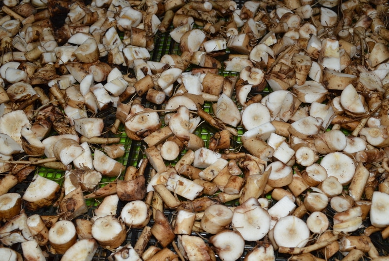dandelion root chopped up