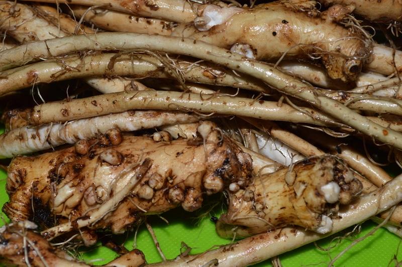 Harvesting dandelion root tea from your garden -- Joybilee Farm